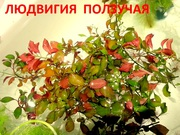 Людвигия  ползучая  и др. растения ------ НАБОРЫ растений для запуска-