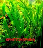 Криптокорина апогенолистная  и др. растения --- НАБОРЫ растений для запуска---