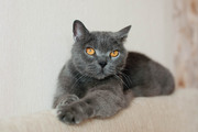 Бархат - британский кот в дар
