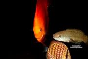 Аквариумная рыба различные виды в Наличии.