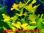 Дубок мексиканский. НАБОРЫ растений для запуска акваса. ПОЧТОЙ отправ