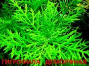 Синема деморфная. НАБОРЫ растений для запуска акваса. ПОЧТОЙ отправл