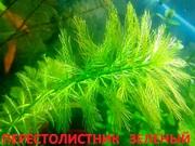 Перестолистник зеленый. наборы растений для запуска. Почтой отправлю11