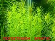 Погостемон эректус. наборы растений для запуска. Почтой отправлю11