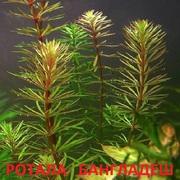 Ротала бангладеш. наборы растений для запуска. Почтой тправлю11