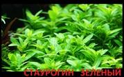 Стаурогин-почвопокровное. наборы растений для запуска. Почтой отправлю