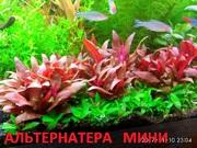Альтернатера мини. наборы растений для запуска. Почтой отправлю11