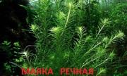 Маяка речная. наборы растений для запуска. Почтой отправлю1