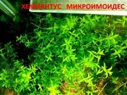 Хемиантус микроимоидес. наборы растений для запуска. Почтой отправлю2