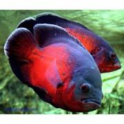 Аcтронотус красный