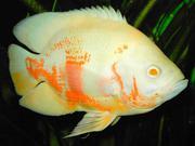 Астрoнотус альбино