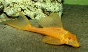 Плeктосомус золотой