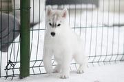 Очаровательный щенок Сибирских хаски от интерчемпиона