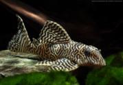 Гипанциструс тигровый королевский королевский(L-066).