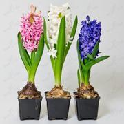 Цветы в горшках,  крокусы,  примула,  гиацинты