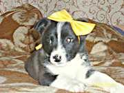 В ДАР! НОРА — щенок,  2 месяца.