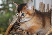 Абиссинские котята насыщенного дикого окраса
