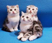 Шотландские плюшевые котики)