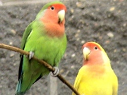 Попугай неразлучник два цвета)