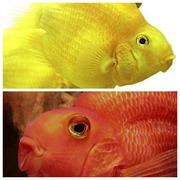 .Попугай Желтый и Попугай красный.