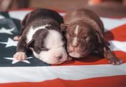 Мощные щенки американского булли
