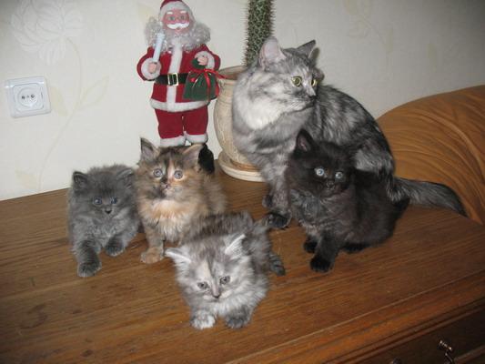 Продаются котята Сибирской породы - котята.