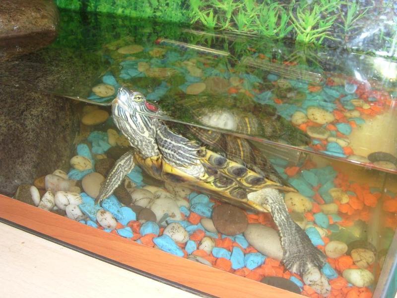 Содержание водных черепах в домашних условиях 769