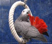 попугай большой продается ЖАКО, КАКАДУ, АРА, 029-7624265