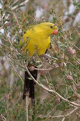 продаю австралийского попугая