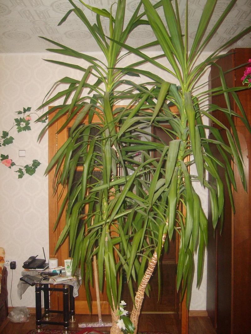комнатные пальмы с фото и названием