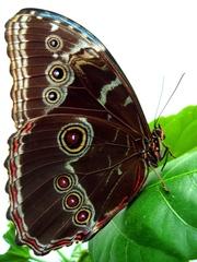 Живые тропические бабочки в подарок.