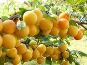 Саженцы яблони, смородины, малины, груши, вишни, черешни, абрикоса, крыжовник
